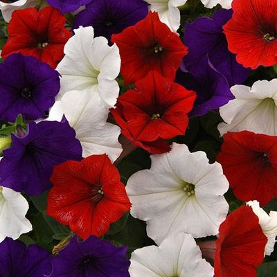 Wave Flag Mix Wave Petunia Jumbo 6 pack (reg. 19.99)